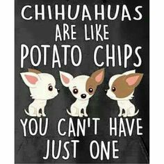 So true! #chihuahuadaily #teacupdogs #teacupchihuahua