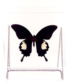 """Real Papilio iswara butterfly from Malaysia  in a clear acrylic 7"""" x 7"""" x 2"""" case. by MonarchButterflyCo on Etsy https://www.etsy.com/listing/203888652/real-papilio-iswara-butterfly-from"""