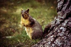 Cute Squirrels | Cute Squirrel Photograph by Robert Bales - Cute Squirrel Fine Art ...