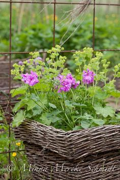 Geranium and Giant Lady's Mantle - wonderful colors together.