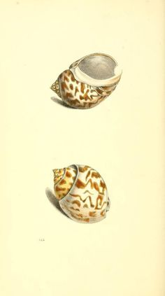 v. 3 - Zoological illustrations, or, Original figures and descriptions of new, rare, or interesting animals : - Biodiversity Heritage Library