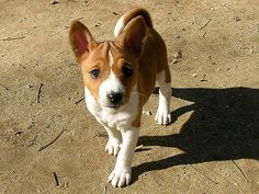 Basenji pup!  I bet Mac looked just like this when he was a puppy!