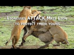 Lionesses ATTACK Male Lion to protect their young | CAUGHT IN THE ACT. Female Lions attack invading Male Lion to protect their young cubs form being killed.
