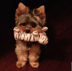 yorkie. My Emmy has so many toys. Her favorite is a rabbit. The rabbit she beats up then sleeps on her... I take the rabbit everywhere we go and she loves that rabbit.