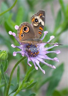 """Butterfly on African Daisy"" by Carol Groenen, Tampa //  // Imagekind.com -- Buy stunning, museum-quality fine art prints, framed prints, and canvas prints directly from independent working artists and photographers."