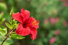 Hibiskus (Rote Malve)