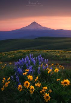 OREGON Colombia hills - bloom landscape #washington flowers mountain