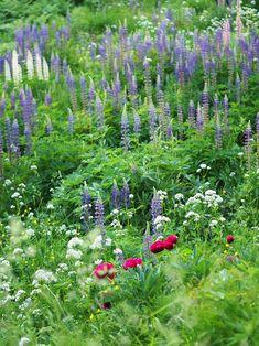 My wild June garden with peonies and lupins Peonies, June, In This Moment, World, Garden, Plants, Beautiful, Garten, Lawn And Garden