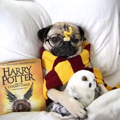 """This is how Doug the Pug will be spending every waking minute until he's finished reading the book. 