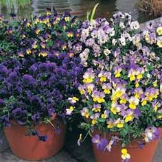 Pansy 'Singing the Blues'
