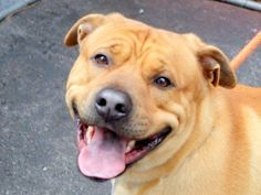 ADOPTED! SAFE 4/23/15 Manhattan MAJOR - A1032148 - FOLLOW ME FOR UPDATES AND ADDITIONAL PHOTOS/VIDEOS:http://nycdogs.urgentpodr.org/major-a1032148/My name is MAJOR. My Animal ID # is A1032148. I am a male tan pit bull and chow chow mix. The shelter thinks I am about 2 YEARS old.  I came in the shelter as a OWNER SUR on 04/04/2015 from NY 10468, owner surrender reason stated was NO TIME. TO BE DESTROYED 04/21/15 11109510_997879840224895_5578700377700143382_n.jpg (600×451)…