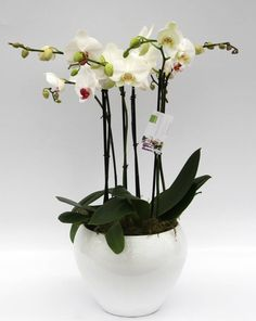 Orchidee Multicolor wit opgemaakt in pot (large)