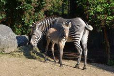 Un zèbre de Grévy est né Parc zoologique