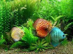 Ocean World Aquarium - Discus; freshwater fish- I want these one day! Tropical Aquarium, Planted Aquarium, Tropical Fish, Aquarium Ideas, Pretty Fish, Beautiful Fish, Photo Lovers, Discus Fish, Aquariums