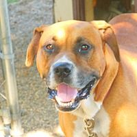 Olivet, Michigan - Boxer. Meet Remey, a for adoption. https://www.adoptapet.com/pet/19508377-olivet-michigan-boxer