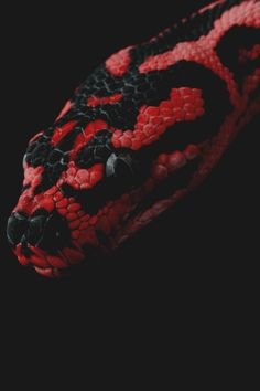 Jungle Carpet Python | Craig Leach