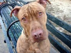URGENT-ON DEATH ROW TONIGHT_KYLE is an adoptable Pit Bull Terrier Dog in New York, NY. A volunteer writes: I can't quite put my finger on it, but Kyle reminds me of a cartoon character.....He has that hangdog face, that oh so se...