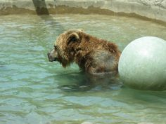 Wet Grizzly Bear - Toronto Zoo