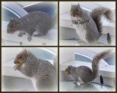 Sunday Squirrel Collage eating cracked corn