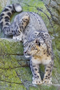 Coming Down The Rock Snow Leopard By Tambako the Jaguar via Wil Cunningham Beautiful Cats, Animals Beautiful, Big Cats, Cats And Kittens, Animals And Pets, Cute Animals, Wild Animals, Baby Animals, Animals Images