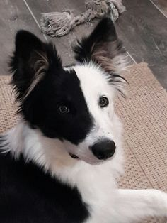 Beautiful colorized Border collie