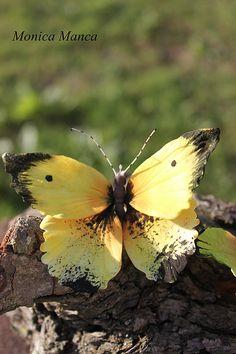 """Sugar Butterfly ~ Miks' Pics """"Butterflies and Moths ll"""" board @ http://www.pinterest.com/msmgish/butterflies-and-moths-ll/"""