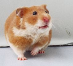 """Hamsters are adorable creatures and make delightful pets. They are mammalian, but are also classified as a rodent. The word rodent comes from the French """"rodere"""" which means to gnaw; hamsters are referred to as rodents Hamster Species, Hamster Breeds, Hamsters As Pets, Funny Hamsters, Rodents, Hamster House, Syrian Hamster, Hamster Stuff, Puppies"""