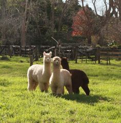 Their so fluffy! Alpacas, Animals And Pets, Baby Animals, National Geographic, Cute Alpaca, Baby Hedgehog, Three Cats, Animal Magic, Cute Animal Pictures