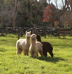 Alpacas - I see wool!