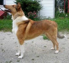 Smooth Collie dog photo | Located in Central Wisconsin. We breed rough and smooth collies. We ...