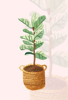 how to take care of a fiddle leaf fig tree.