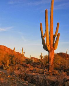 Saguaros stand tall in National Park in Arizona