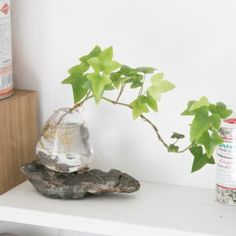 Easy To Grow Houseplants Clean the Air Aqua Bonsai Aqua Bonsai - Espace De Vie Bonsa De Tokyo Water Plants Indoor, Aquatic Plants, Easy To Grow Houseplants, Terrarium Plants, Paludarium, Nature Plants, Little Plants, Water Flowers, Plant Nursery