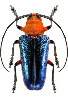 Thermonotus coeruleipennis Beetle Insect, Beetle Bug, Longhorn Beetle, Foto Macro, Cool Bugs, Beautiful Bugs, Bugs And Insects, Spiders, Oeuvre D'art