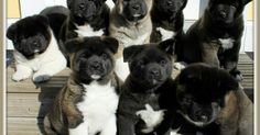 Dogspuppiesforsalecom liked | Akita Puppies! I need all of them. Getting a dog or a puppy as a new addition to your family is an excellent decision! You're adding another member that can provide lots of love and enjoyment! This is a relationship you'd want to make sure that you're doing right the first time around. You'll need to find out what makes your dog happy what are the things to look out for and basically how to give them a long and fulfilling life. This is what dogs puppies for sale…