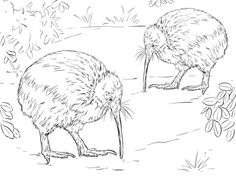 North Island Brown Kiwi Coloring Page From Category Select 25887 Printable Crafts Of Cartoons Nature Animals Bible And Many More