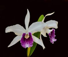 Orchid: Laelia purpurata roxo-violetta - Flickr - Photo Sharing!