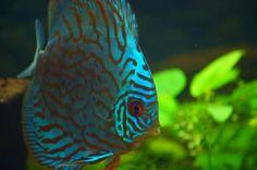Discus fish / Pez disco