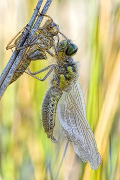 A new Life - Birth of a Four-Spotted Chaser Dragonfly.