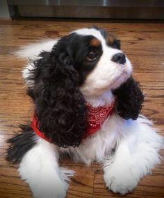 Beautiful Tri-Colored Cavalier King Charles Spaniel (Pure Heaven) ♡♥♡♥♡♥♡ I… King Charles Puppy, Cavalier King Charles Dog, King Charles Spaniel, Puppies And Kitties, Cute Puppies, Doggies, Corgi Puppies, Spaniel Puppies, Cocker Spaniel
