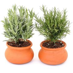 Schubert Nursery Lavender & Rosemary Washpot, Set of 2 (£35) ❤ liked on Polyvore featuring plants, fillers, home, green and interior