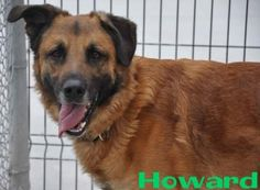 HOWARD. Animal ID: 22618768Species: Dog Breed: Shepherd/Mix Age: 2 years 1 day Sex: Male Size: Large Color: Black/Tan Spayed/Neutered: YesDeclawed: No Housetrained: Unknown Site: Hamilton/Burlington SPCA Location: Dog Adoption Kennels Intake Date: 5/4/2014 Adoption Price: Not available. Hamilton Burlington SPCA