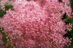 Meadowsweet bloom Queen of the Prairie, Meadowsweet 'Venusta' Filipendula rubra