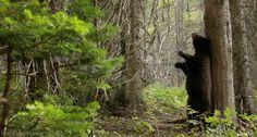 THANKS FOR BIG TREES ... Black Bear
