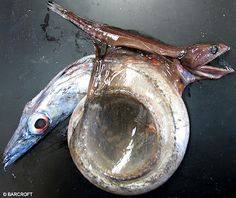 Meet the python of the deep sea. This is the Black Swallower (Chiasmodon niger), a fish that really bites off more than it can chew! Only reaching lengths of a mere 10 inches, size isn't the intimidating factor associated with this creature, it's its appetite.Black Swallowers get their name from swallowing their prey, which consist of bony fish, whole. Now here's where things get really weird - its food can be over twice the swallower's size and TEN TIMES its mass!