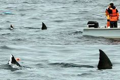 Great White Sharks in the Farrallons (Farallones).. Your going to need a bigger boat!