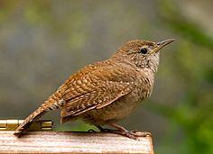 House Wren-wrens in my courtyard are a word from God to me. I love the little pair of wrens that have lived and raised babies in our courtyard for the last 4 years.