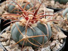 Echinocactus horizonthalonius v. nicholii HK 1218 Silver Bell Mts, Az - 10 seeds