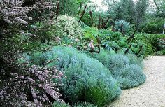 Arabella Lennox-Boyd : Landscape & Architectural Design.  Lavandula, Leptospermum, Melianthus