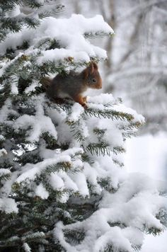 Squirrel in snowy evergreen. Winter Szenen, I Love Winter, Winter Magic, Winter Christmas, Winter Photography, Nature Photography, Hirsch Illustration, Foto Picture, Winter Coffee